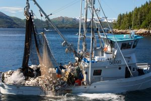 salmon seiner pulling aboard a bag of fish
